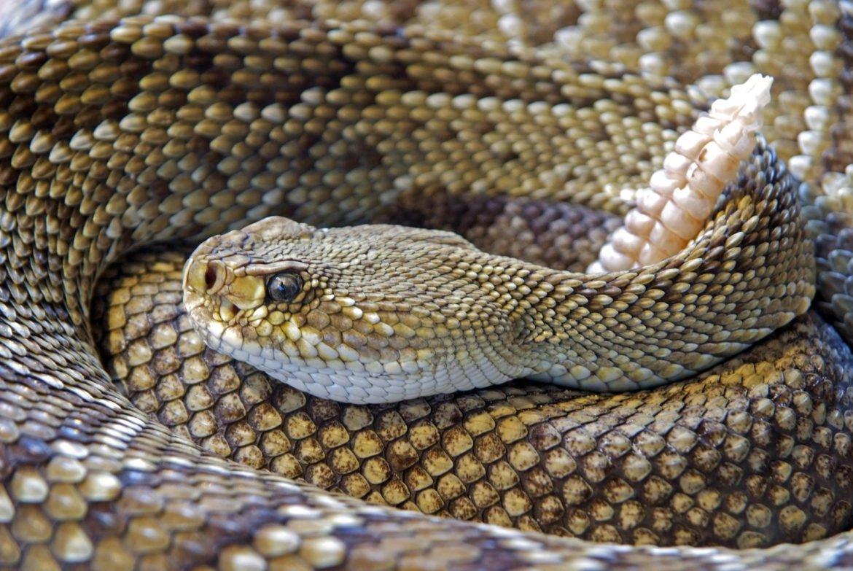 snake-rattlesnake-reptile-skin