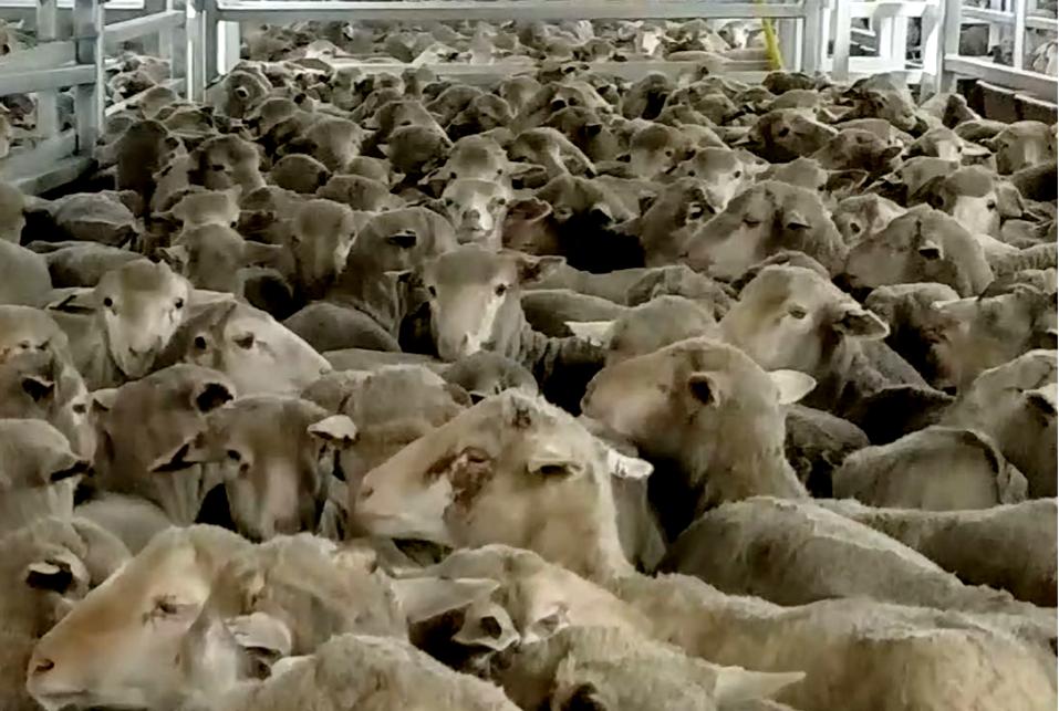 Affonda nave stalla, con migliaia di pecore a bordo