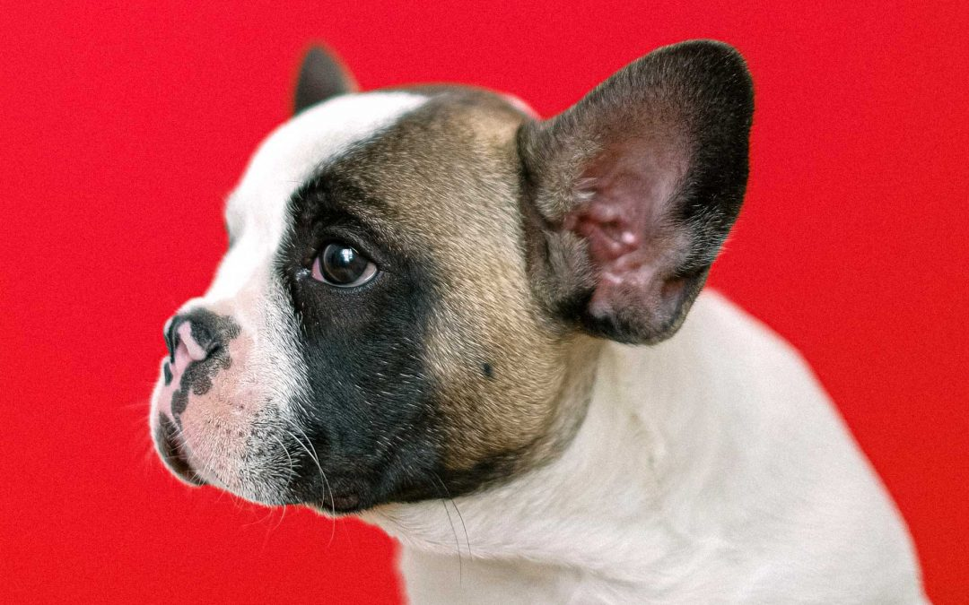 Un cane da mozzare il fiato: la vita dei bulldog francesi e degli animali brachicefali