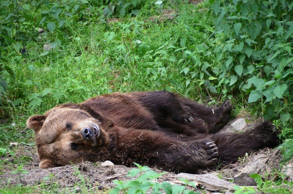 orso ucciso pettorano gizio