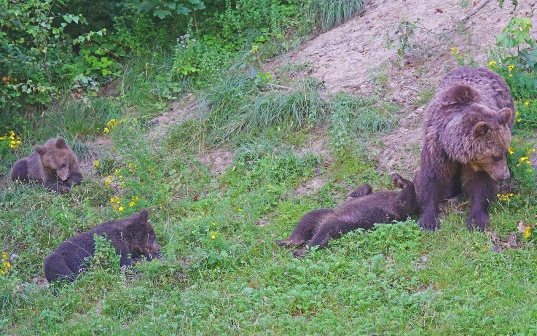 L'orsa Jj4 torna catturabile, dopo la sentenza del TAR di Trento che ribalta l'ordinanza precedente