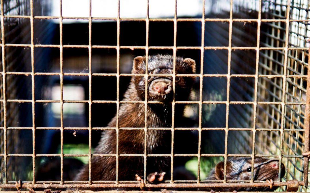 Saranno uccisi 15 milioni di visoni in Danimarca, a causa del virus Covid-19. Ora basta pellicce!