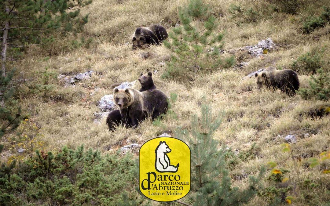 L'orsa Amarena con quattro piccoli è arrivata al letargo: un evento straordinario reso possibile dal Parco d'Abruzzo