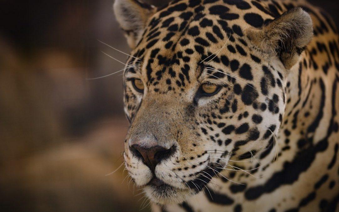Il Ministero della Transizione Ecologica riuscirà a guardare oltre il confine, pensando anche al giaguaro?