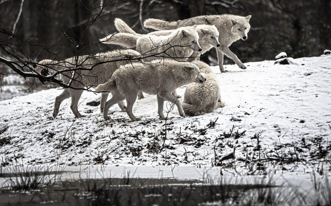 Il concetto di troppi predatori è umano, non appartiene alle logiche della natura