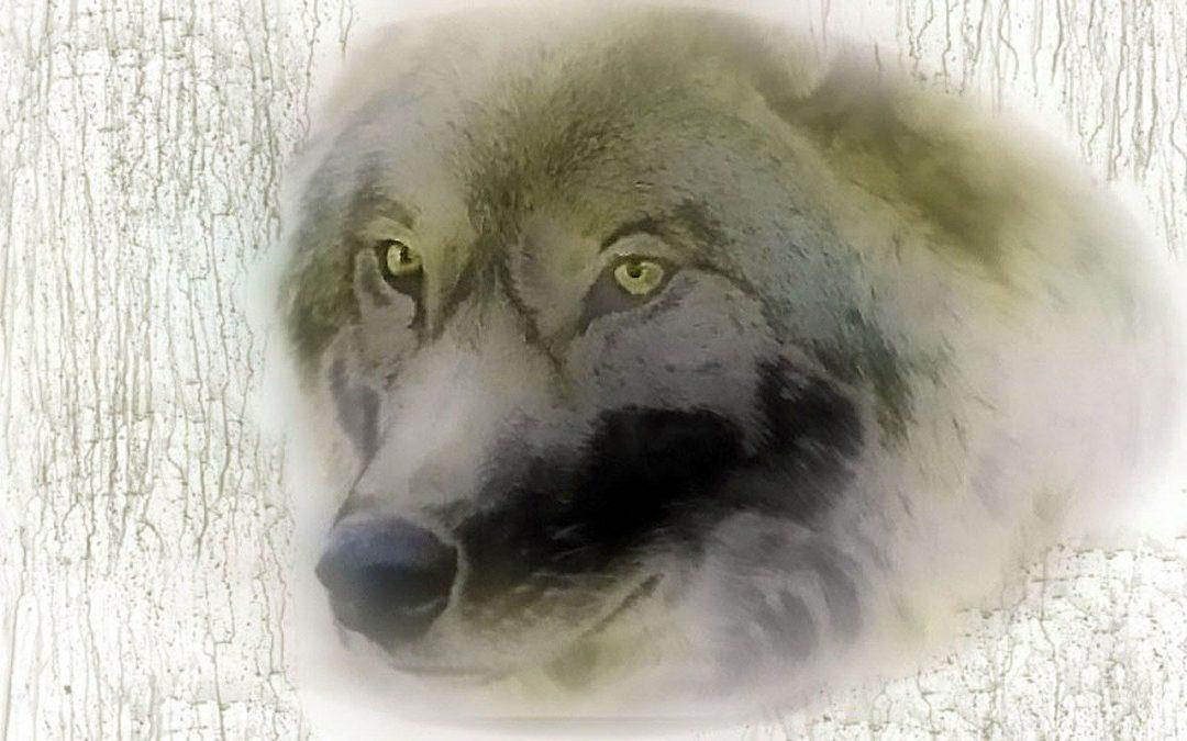 Abbattimento lupi al via in Trentino Alto Adige: la nuova strada delle province autonome per la gestione dei carnivori