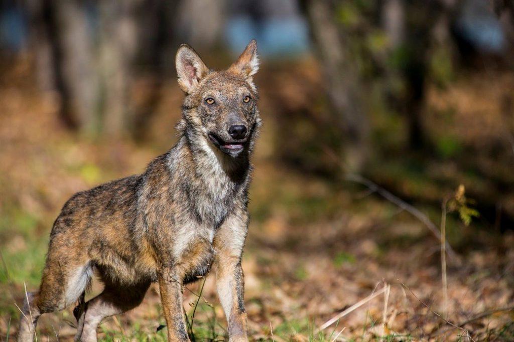 cani vaganti e lupi ibridi