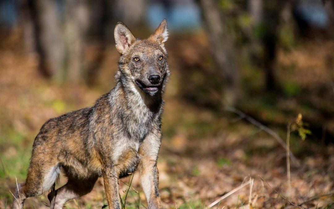 Cani vaganti e lupi ibridi: leggende da sfatare e comportamenti sicuramente da cambiare