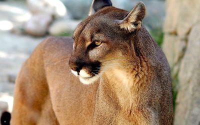 Puma trasferiti in California per salvare delle capre in pericolo di estinzione. Un'idea di gestione non letale.