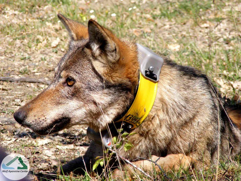 Ibridazione antropogenica dei lupi