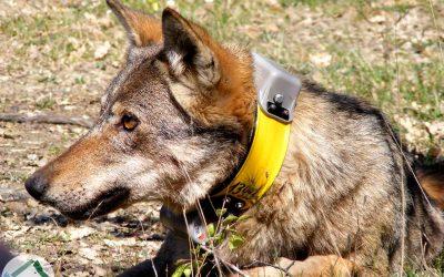 Ibridazione antropogenica dei lupi: un termine scientifico che indica le responsabilità dell'uomo