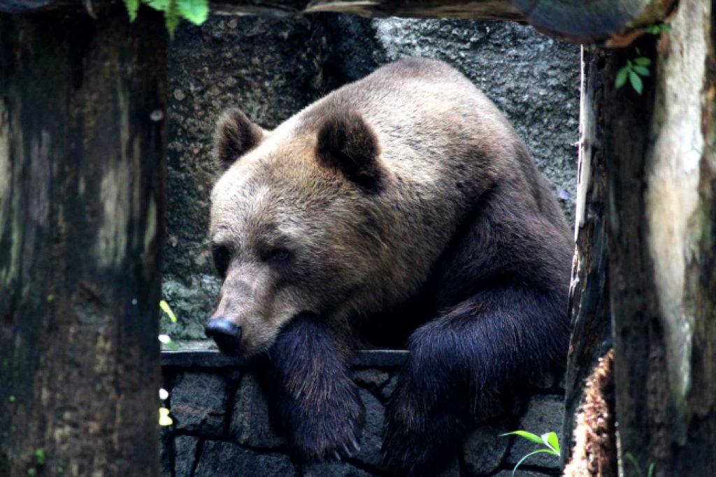 Trasferita l'orsa Dj3 da Casteller