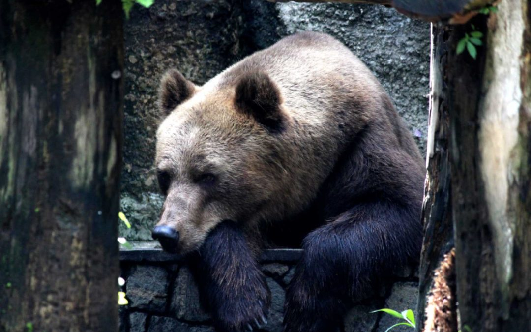 Trasferita l'orsa Dj3 da Casteller alla Foresta Nera, ma le bugie han le zampe corte