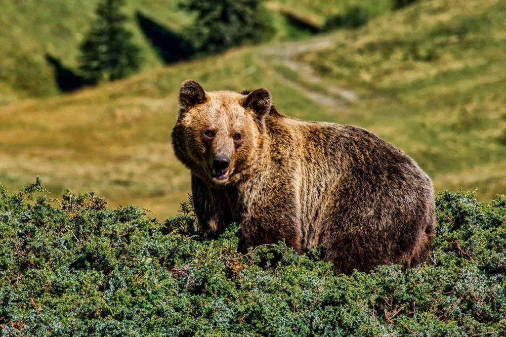 orsi diventano confidenti colpa