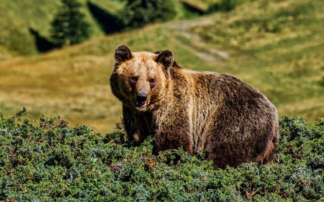 Gli orsi diventano confidenti per colpa dell'uomo, ma una volta fatto il danno la soluzione non è semplice
