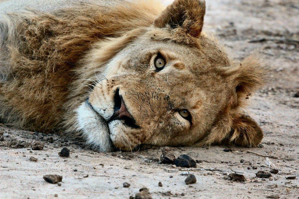 stop allevamento leoni Sudafrica