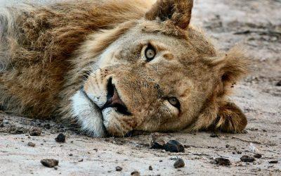 Uno stop all'allevamento dei leoni in Sudafrica per scopi commerciali: danneggia la specie