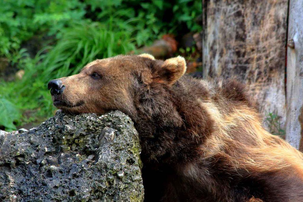 Abbattere l'orso M62