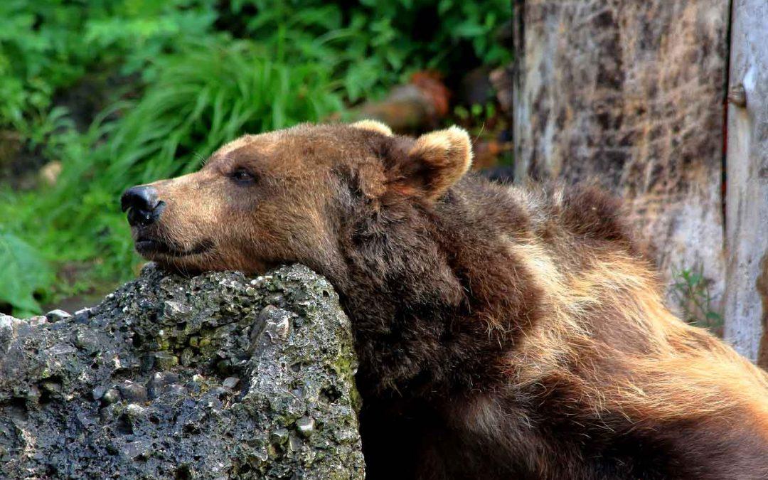 Abbattere l'orso M62 è una scelta che sigilla il fallimento doloso di un progetto pagato dalla collettività