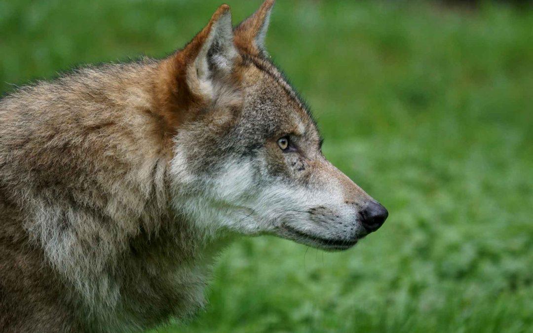 Ibridi di lupo e cattiva informazione: il pericolo cresce quando sembra essere autorevole