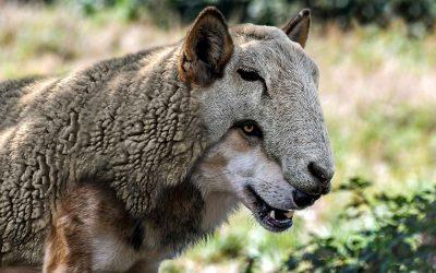 Abbattere i lupi non salva le pecore, mentre abbattere le notizie false migliorerebbe la società